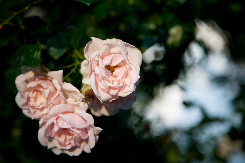 Roses in bloom at Amy & Landon's wedding in McKinney | Wedding Photography in Dallas, Texas & Beyond by Mary Cyrus